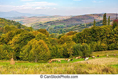 Cows grazing on rural fields in autumn - Cows grazing on...