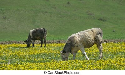 Cows Grazing on Spring Nature