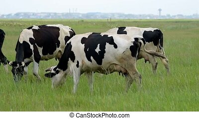 Cows grazing on the pasture