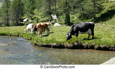 Cows grazing on the shore of a river