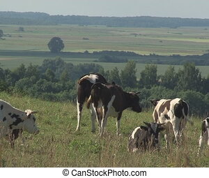 cows grazing pasture - Cows graze in meadow pasture and...