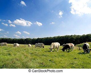 Cows grazing. - Rural scene in belgium, cows grazing on a...