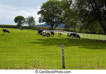 Cows Grazing - Photo of Cows Grazing in Field.