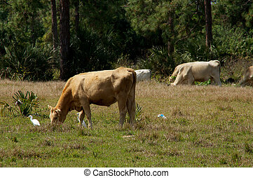 cows grazing with bird