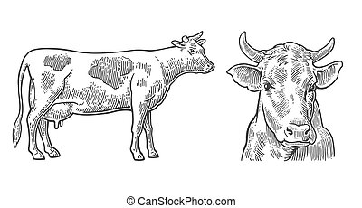 Cows. Hand drawn in a graphic style. Vintage vector...