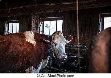 cows in a barn on a rural farm