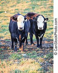 Cows in a farm in Kentucky