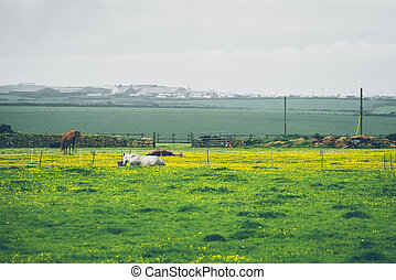 Cows in a field in Cornwall