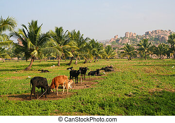 Cows in a field india