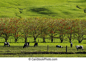 Cows in a field of a Dairy Farm during the spring season in New Zealand.