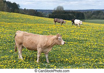 Cows in a field of blooming dandelions