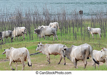 Cows in a meadow in the riverside, Thailand