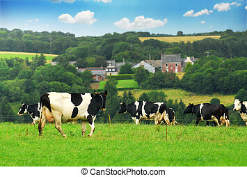 Cows in a pasture - Cows grazing in a green pasture in rural...