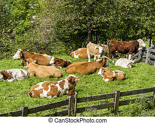 cows in a pasture - cows graze in the fresh meadow of a...