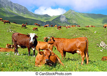 Pasture in the mountain with a herd of brown cows