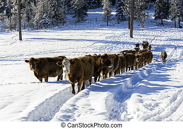 Cows in a snow covered field.