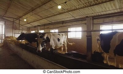 Cows in a stall. Horned animals chew food. Agriculture needs...