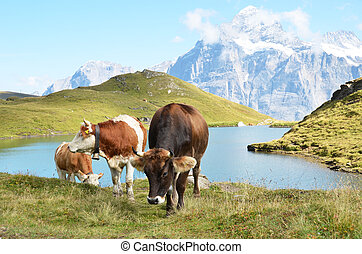 Cows in Alpine meadow. Jungfrau region, Switzerland