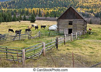 Cows in barnyard.