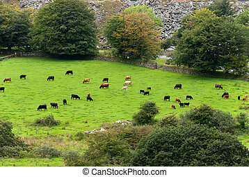 cows in Cornwall