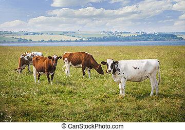 Cows in farm field - Herd of Ayrshire cows grazing in farm...