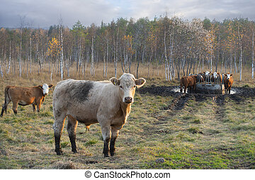 Cows in field on sunny autumn day,