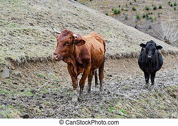 cows in front of spring mountain landscape