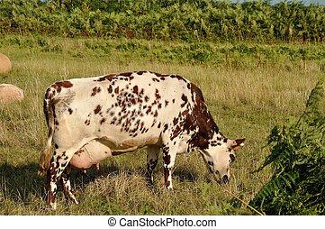 Cows in meadows -  Norman cow  in meadows
