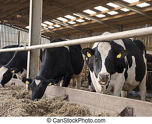 Cows in milking shed waiting for dairy farmer - Cows waiting...