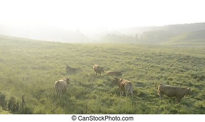 Cows in morning mist - Cows on pasture of green field in ...