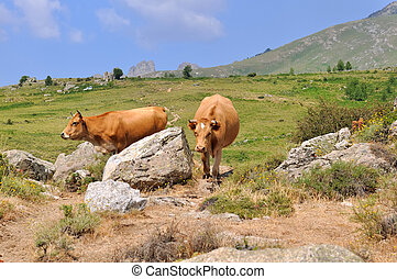 cows in mountain