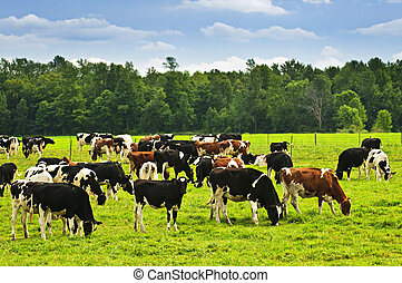 Cows in pasture - Cows grazing in a green pasture on ...