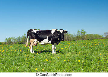 cows in pasture.An inquisitive cow in a scenic field