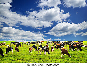 Cows in pasture - Cows grazing in a green pasture on...