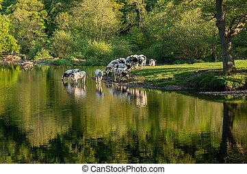 Cows in River Dee outside Llangollen in Wales