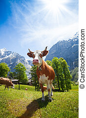 Cows in Switzerland mountains