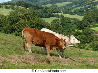 Cows in the Countryside.