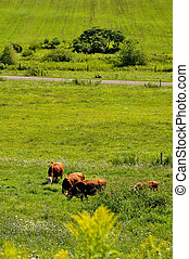 Cows in the fields in springtime