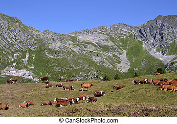 Cows in the French Alps