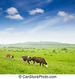 Cows in the grassland - Landscape with grazing calves