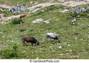 Cows in the Italian Alps