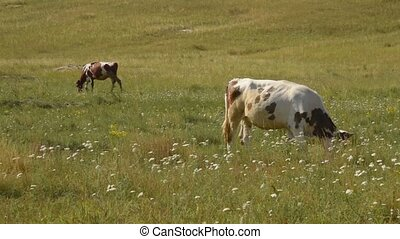 Cows graze in the pasture.