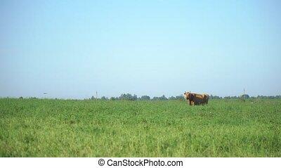 Cows in the meadow chew grass. Milk cow grazing. Farm cattle grazing in field