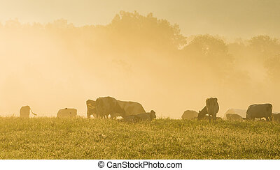 Cows in the Misty Morning Sunrise