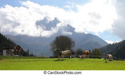Cows in the mountain in Italy Alps  - Dolomiti cows in farm