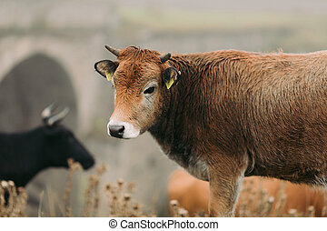 Cows in the mountains of the Caucasus