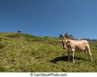 Cows in the mountains - A view of rushing cows in the Alpine...