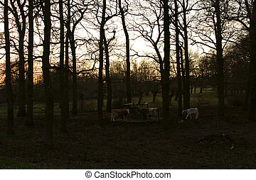 Cows in the tree thicket
