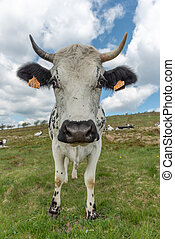 Cows in the Vosges mountains