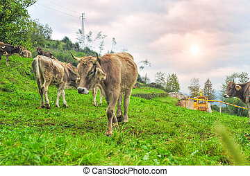 cows in thw mountain